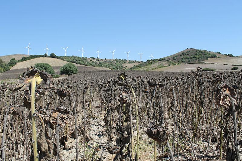 Pese a la escasez de agua la campiña de girasol irá bien e la comarca. Foto: JM Reina